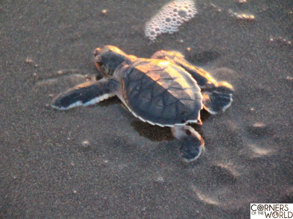 vrijwilligerswerk-schildpadden-costa-rica