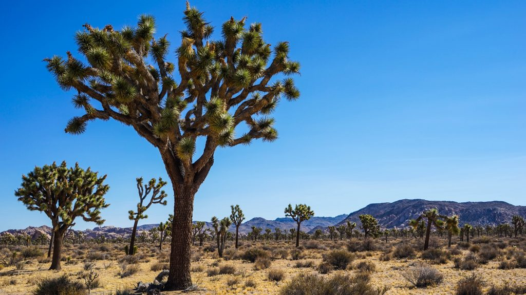 Pretty Picture Time #12 – Joshua Tree National Park in Amerika