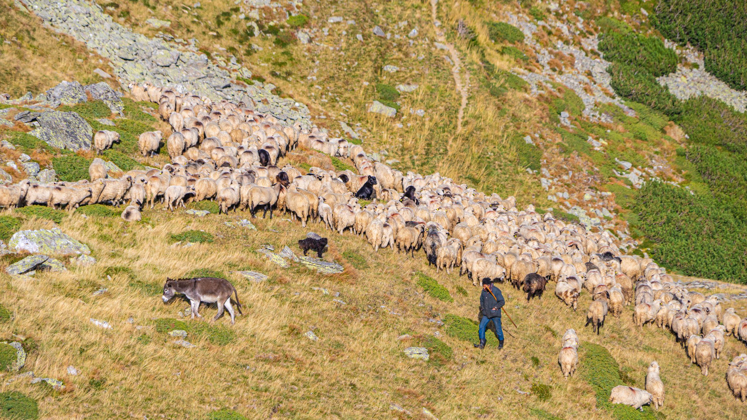 Herder-met-hond-schapen-op-heuvel