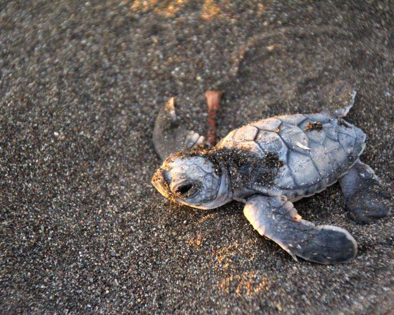 Baby-schildpad-Costa-Rica