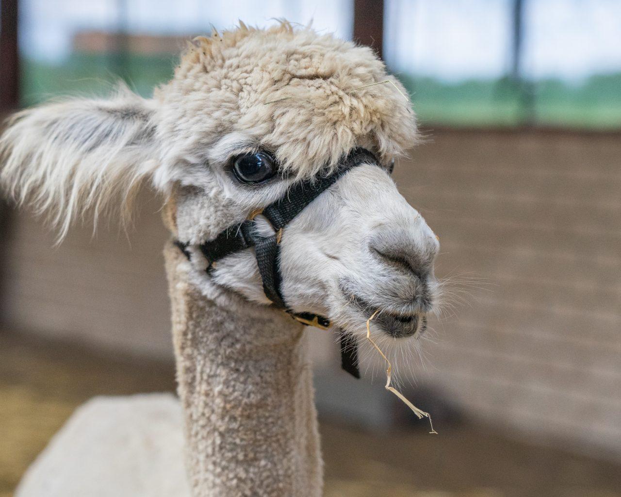 Witte-alpaca-in-stal-Vorstenbosch