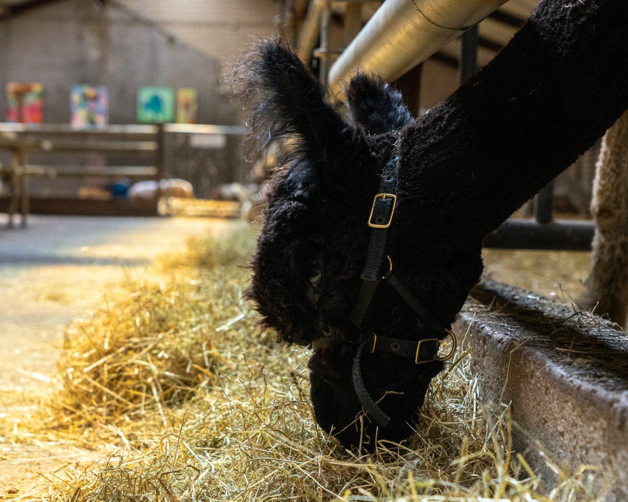 Zwarte-alpaca-eet-hooi