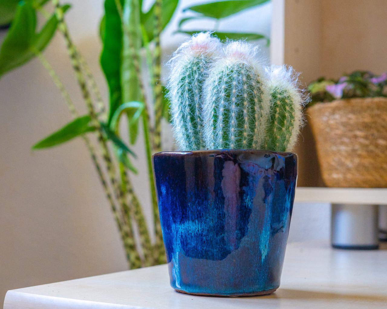 Cactus-makkelijke-kamerplant-weinig-water