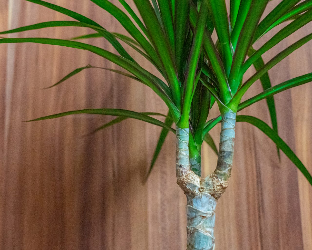Dracaena-makkelijke-kamerplanten-weinig-water